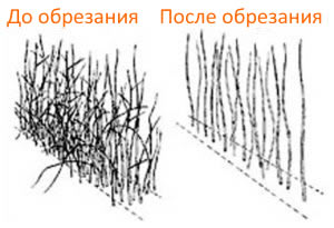 Правильная осенняя обрезка малины - процедура обязательная