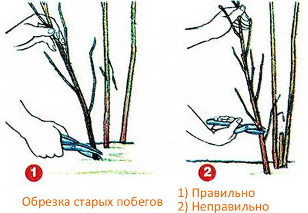 Осенняя обрезка старых побегов малины
