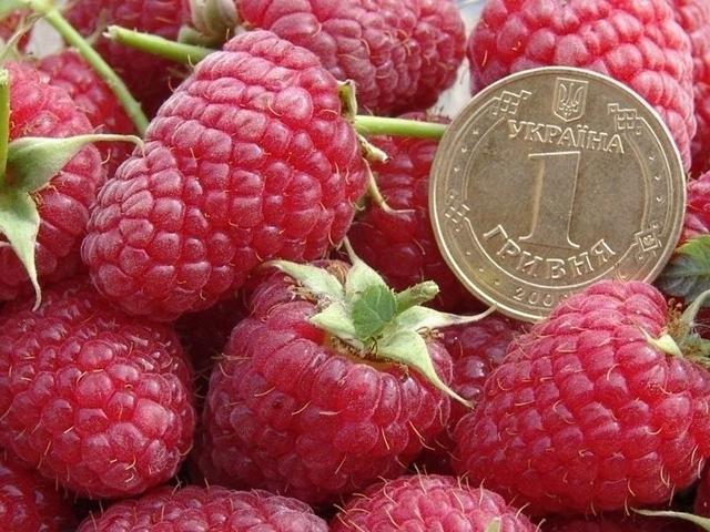 Крупноплодный сорт малины Брусвяна