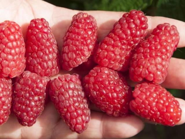 Крупные плоды малины Брянское диво