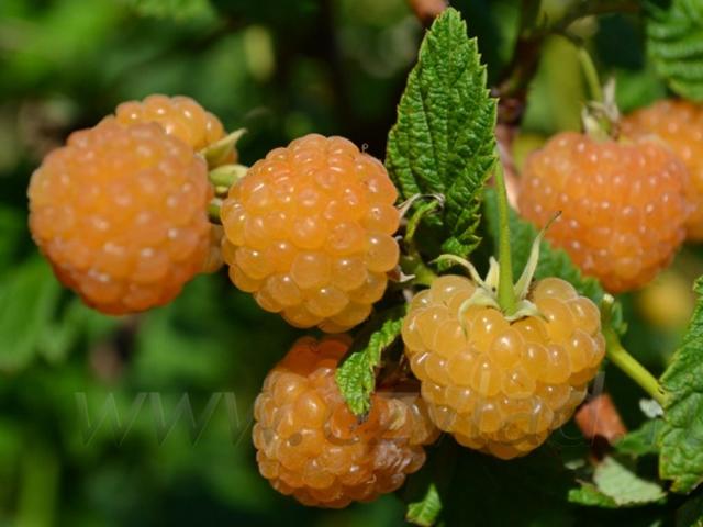 Плоды малины Желтый гигант