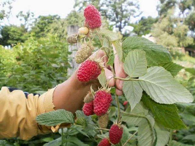 Побег малины Патриция с ягодами