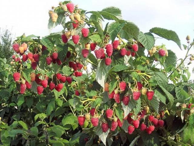 Плодоносящий куст малины Полька