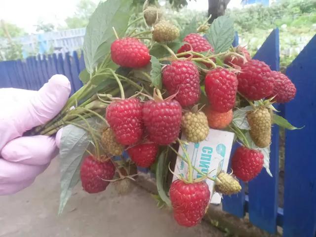 Идеальные по форме и вкусу ягоды малины Полька