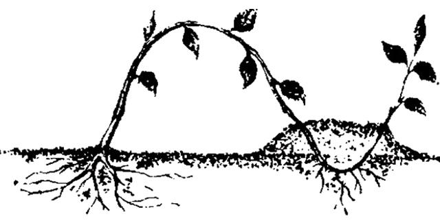 Разведение малины укоренением верхушки
