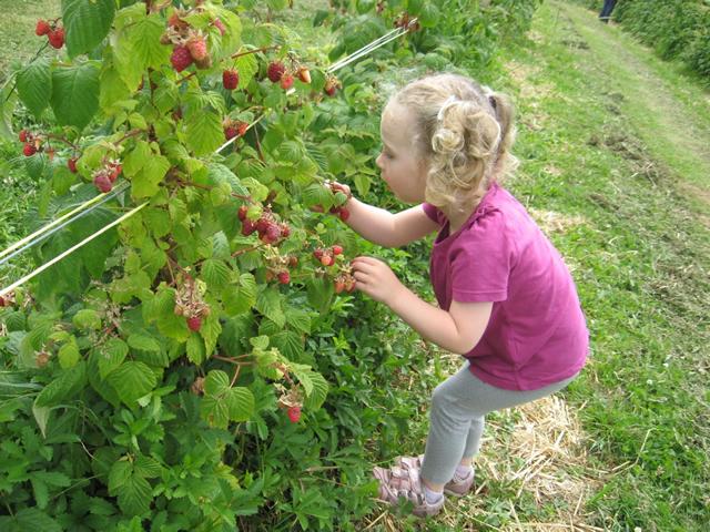 Ремонтантная малина осенний урожай