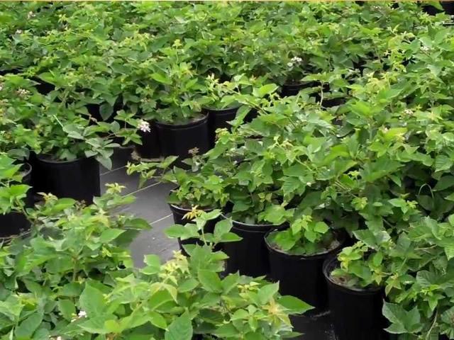 Выращивание ежевики семенами 5