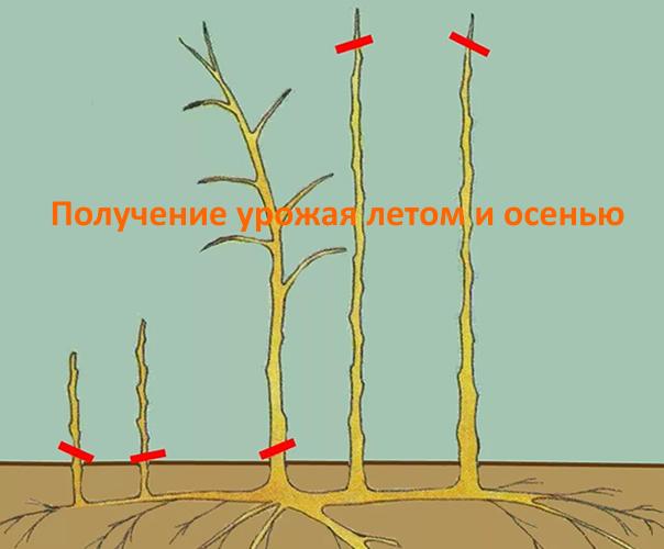Обрезка ремонтантной малины для получения двух урожаев: осеннего и летнего
