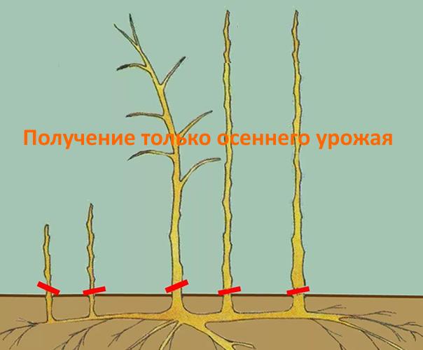 Обрезка ремонтантной малины для получения только осеннего урожая