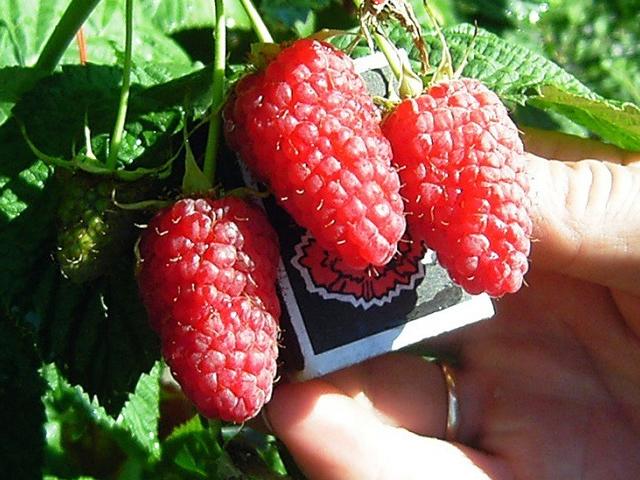 Крупные плоды малины Гусар