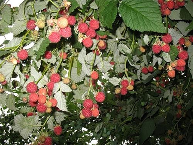 Плодоносящий куст малины Гусар