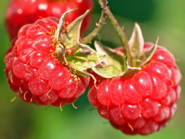 Аккуратные небольшие ягоды сорта малины Солнышко