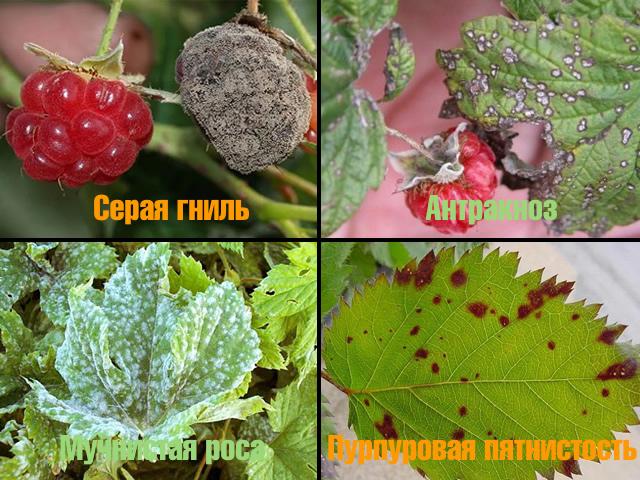Болезни малины: серая гниль, антракноз, пурпуровая пятнистость, мучнистая роса