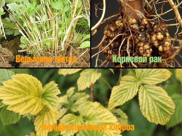 Болезни малины: ведьмина метла, корневой рак, неинфекционный хлороз