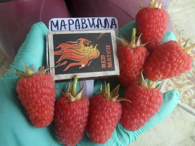 Крупные ягоды малины Маравилла