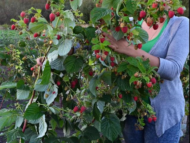 Плодоносящий куст малины сорта Маравилла