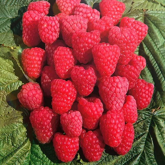 Как на подбор ягоды малины Метеор