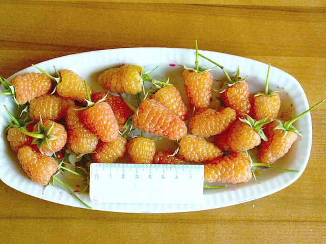 Крупные плоды малины Оранжевое чудо