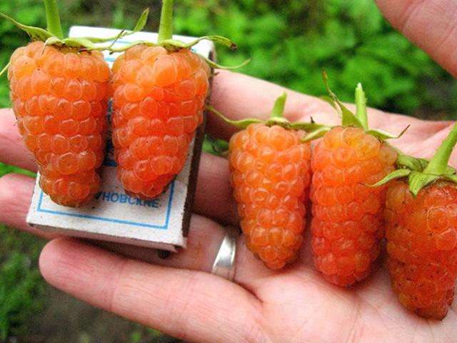 Ягоды малины Оранжевое чудо величиной почти со спичечный коробок