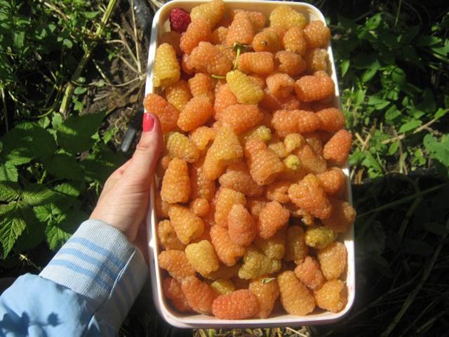 Урожай сорта Оранжевое чудо