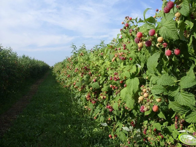 Урожайность сорта Полана до 100 кг. с сотки
