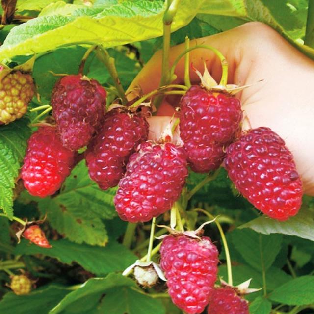 Большие вытянутые плоды малины Рубиновое ожерелье