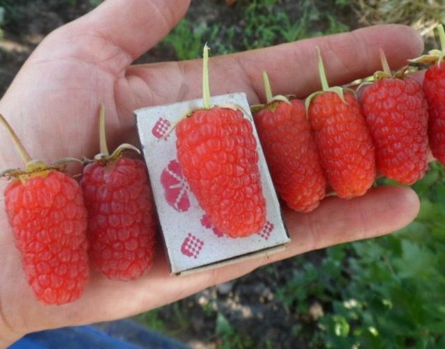 Крупные ягоды малины Рубиновое ожерелье