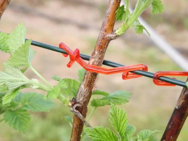 Подвязываем побеги малины к шпалере