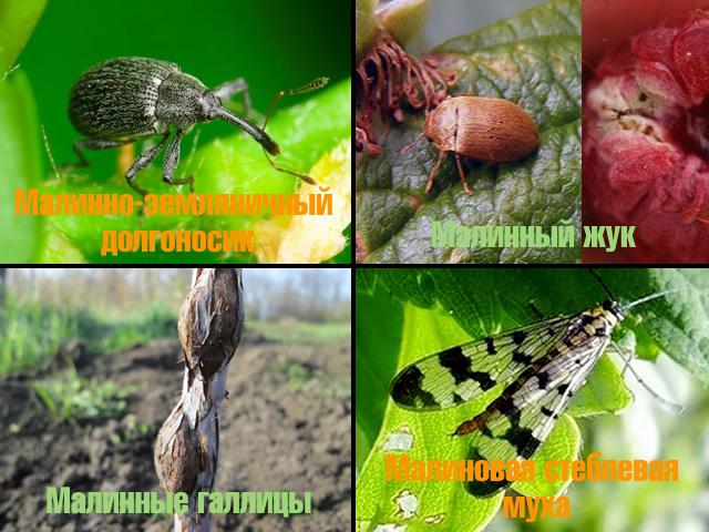 Вредители малины: малинно-земляничный долгоносик, малиновая стеблевая муха, малинный жук, малинные галлицы