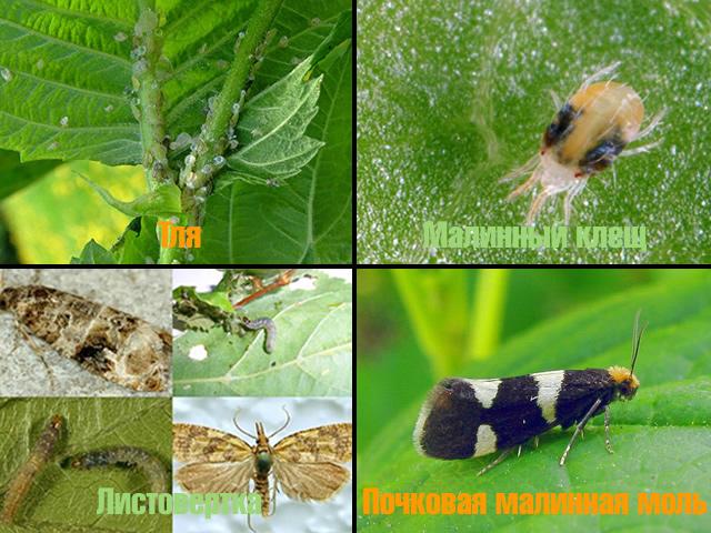 Вредители малины: малинный клещ, тля, почковая малинная моль, листовертка