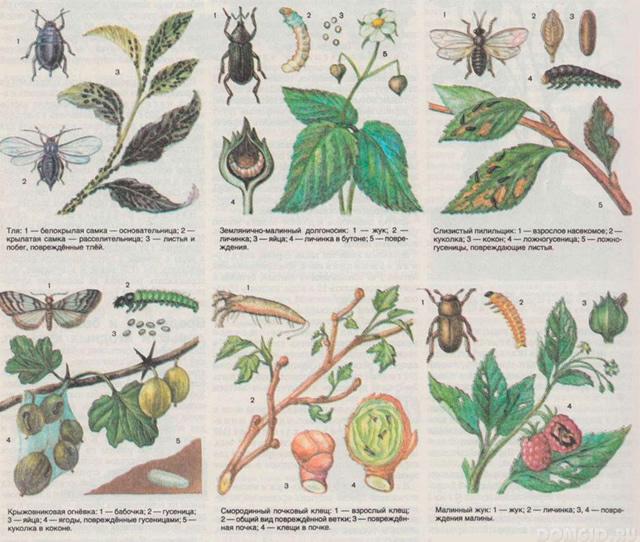 вредители малины