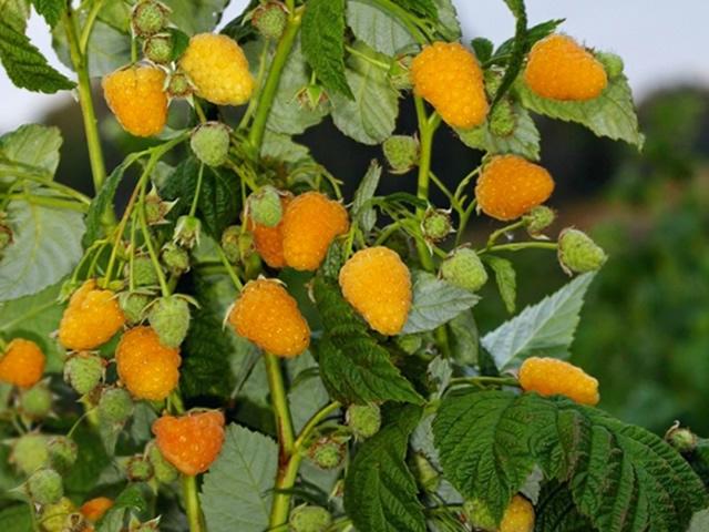 Плодоносящие стебли малины Золотая осень