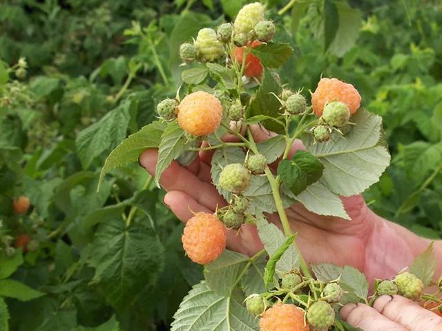 Плодоносящая ветка малины Золотая осень
