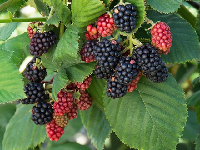 Созревшие и еще зеленые плоды ежевики Блэк Сатин