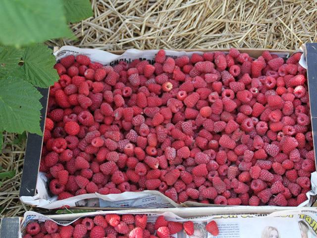 Урожай малины Химбо Топ