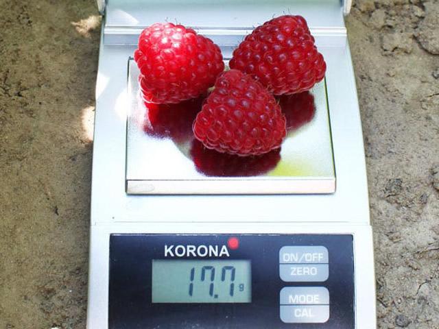 Крупные ягоды сорта Химбо Топ