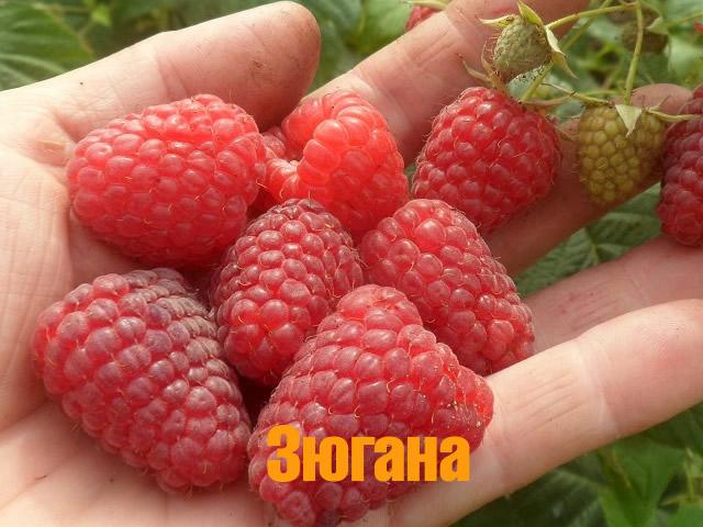 Один из самых урожайных сортов малины - Зюгана