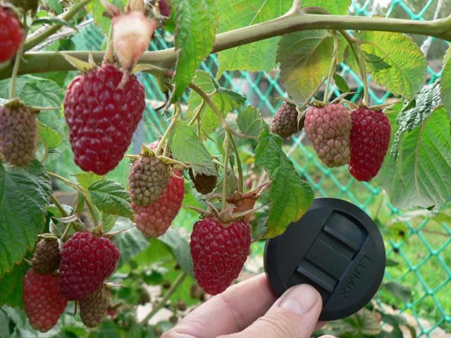 Крупные плоды малины сорта Таганка