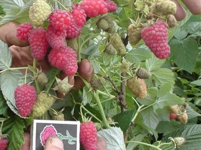 Крупные ягоды Таруса в сравнении со спичечным коробком