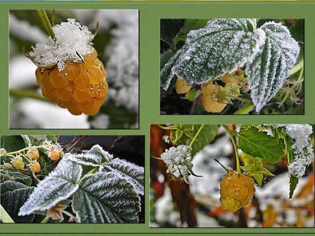Второе плодоношение малины Абрикосовая перед зимой