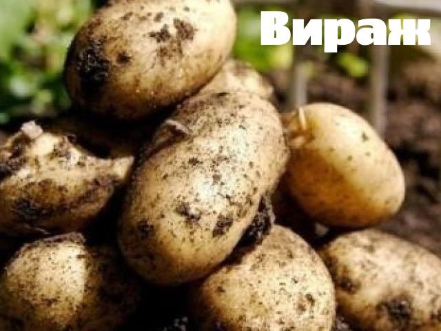 Клубни картофеля сорт Вираж