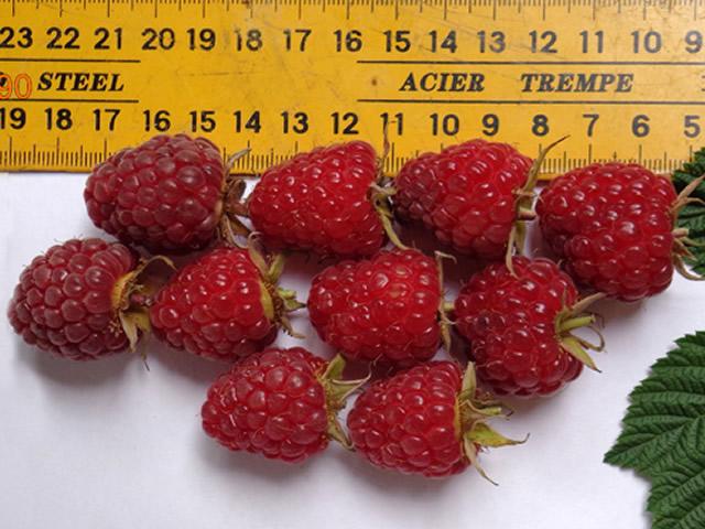 Размер ягод малины Красная гвардия