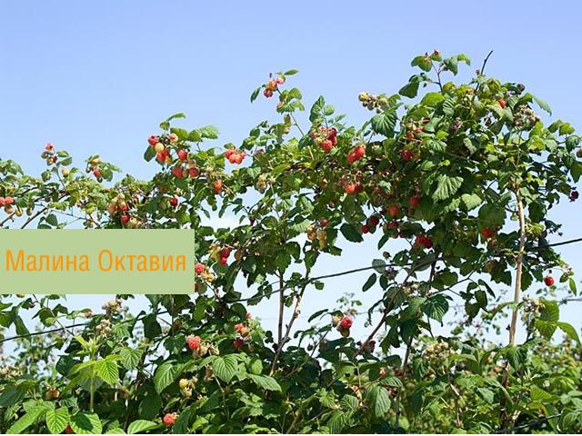 Плодоносящий куст летней малины Октавия