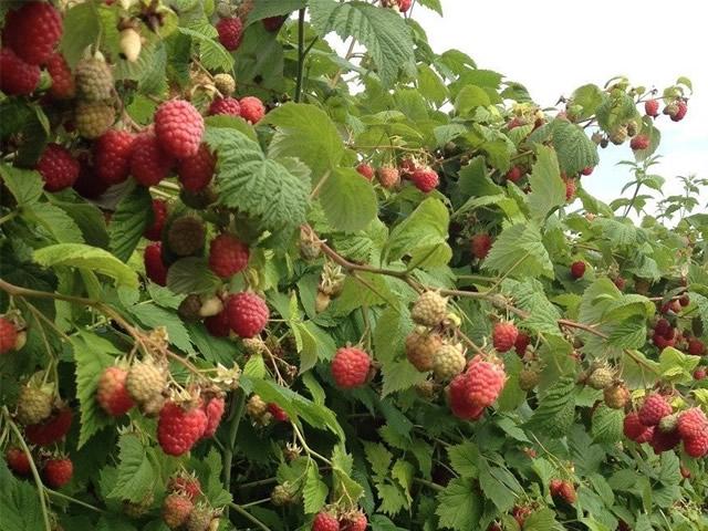 Плодоношение кустов малины Октавия