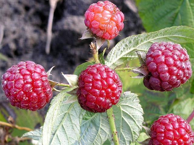 Круглые ягодки Осенней красавицы