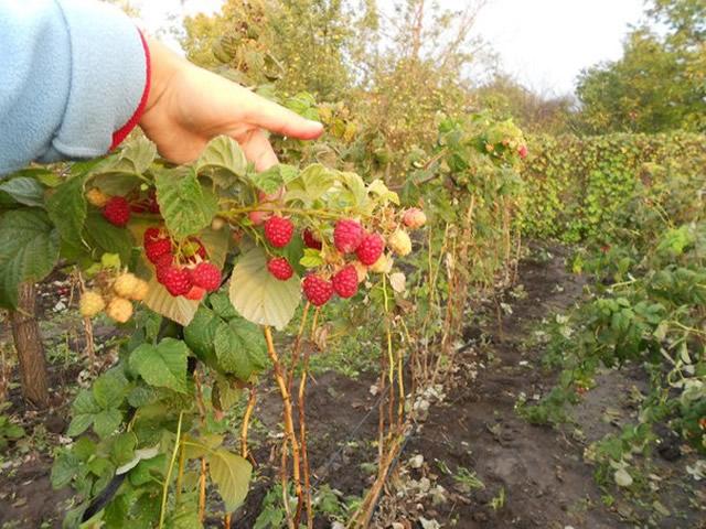 Большое количество ягод Осенней красавицы на одном стебле