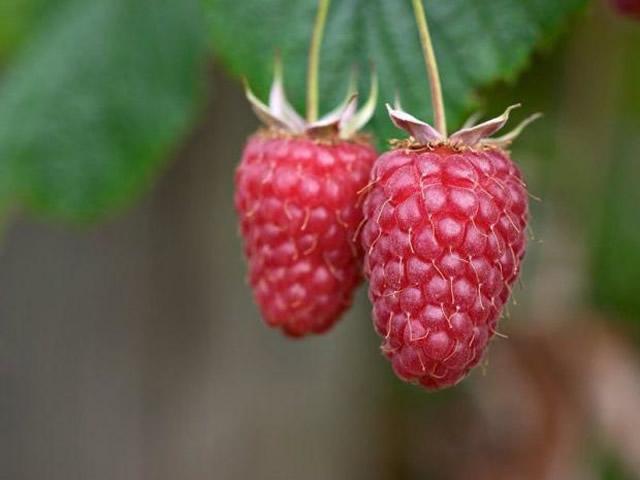Плоды малины Исполин