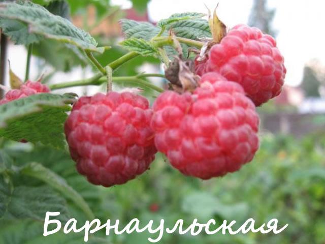 Малина для Сибири сорт Барнаульская
