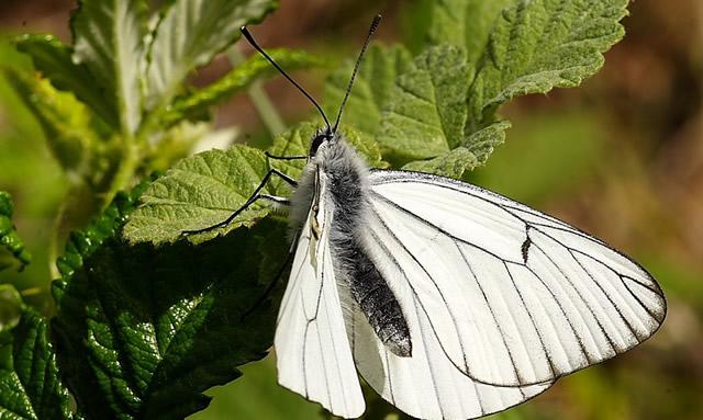 Белая бабочка боярышница на малине