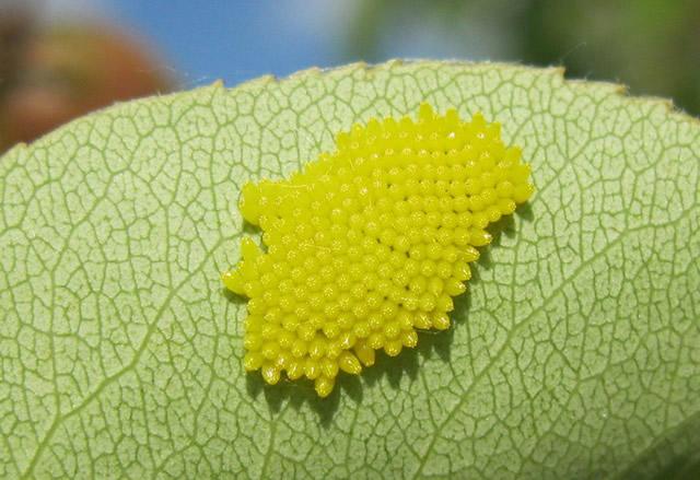 Яйца бабочки боярышницы
